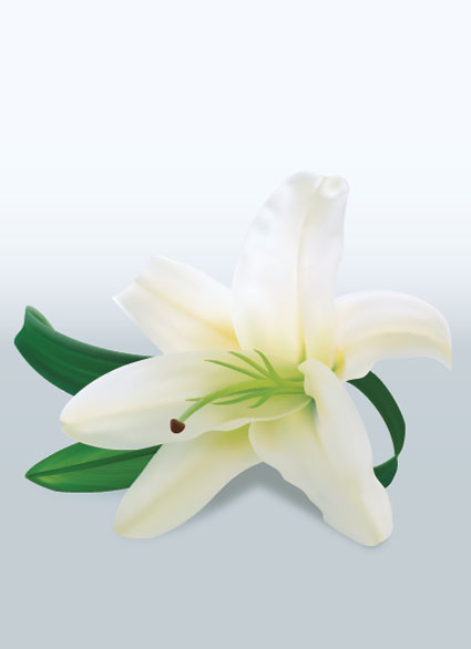 Lily-Flower-Vector
